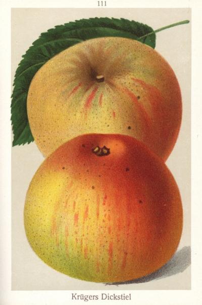 Apfel: Krügers Dickstiel