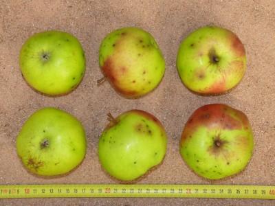Apfel: Kugelapfel