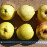 Apfel: Lütticher Ananaskalvill