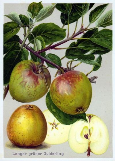 Apfel: Langer Grüner Gulderling