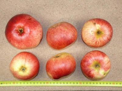 Apfel: Martens Sämling