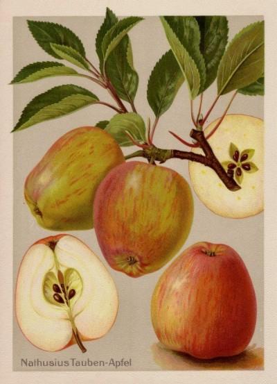 Apfel: Nathusius Taubenapfel
