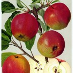 Apfel: Neuer Berner Rosenapfel