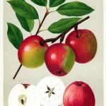 Apfel: Öhringer Blutstreifling
