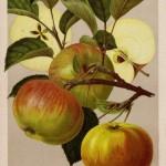 Apfel: Ontario