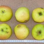 Apfel: Pfaffenhofer Schmelzling