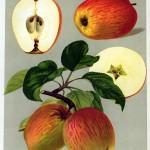 Apfel: Prinzenapfel