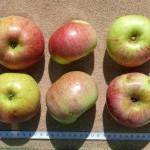 Apfel: Raafs Liebling