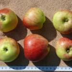 Apfel: Reichtragender vom Zenngrund