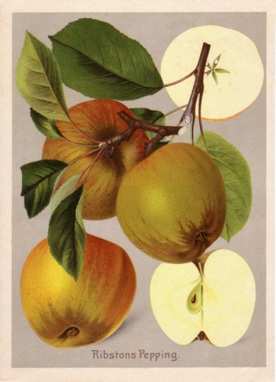 Apfel: Ribstons Pepping