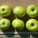 Apfel: Riesenboiken