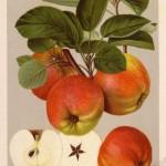 Apfel: Roter Bellefleur