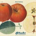 Apfel: Roter Boskoop