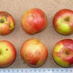 Apfel: Roter Fresquin