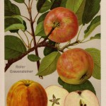 Apfel: Roter Gravensteiner