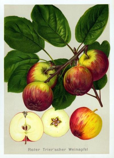 Apfel: Roter Trierer Weinapfel