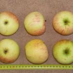 Apfel: Schöner aus Wiltshire