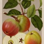 Apfel: Schöner von Nordhausen