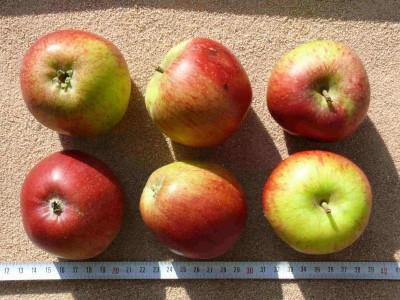 Apfel: Schmidberger Renette