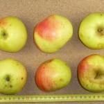 Apfel: Schneiderapfel