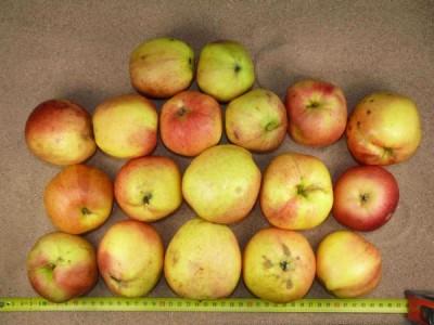 Apfel: Schöner aus Miltenberg
