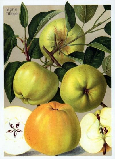 Apfel: Signe Tillisch
