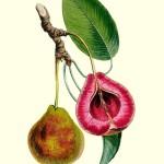 Birne: Sommerblutbirne