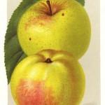 Apfel: Spätblühender Taffetapfel