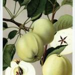 Apfel: Weißer Klarapfel