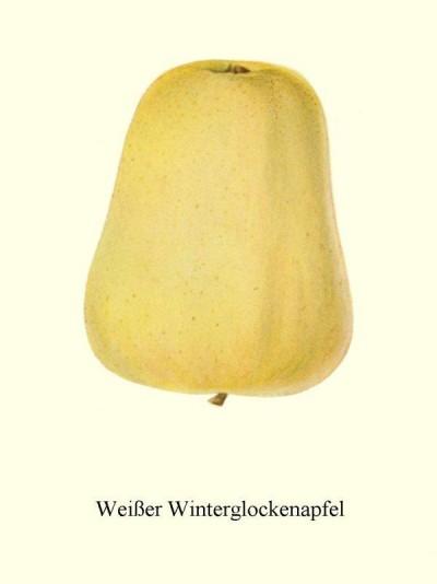 Apfel: Weisser Winterglockenapfel
