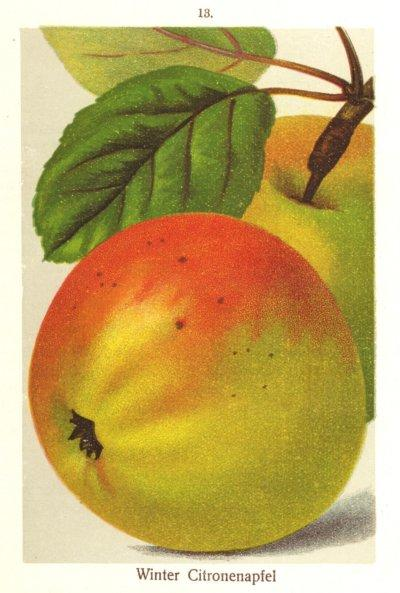 Apfel: Winterzitronenapfel