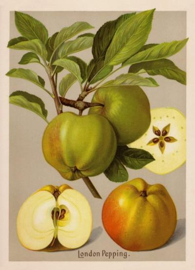 Apfel: London Pepping